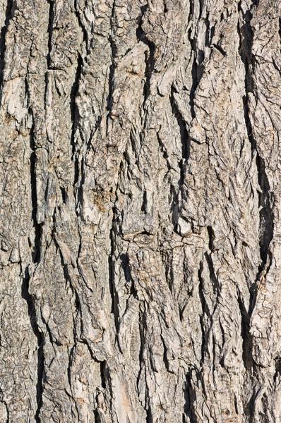 Cottonwood Bark Background Stock photo © pancaketom