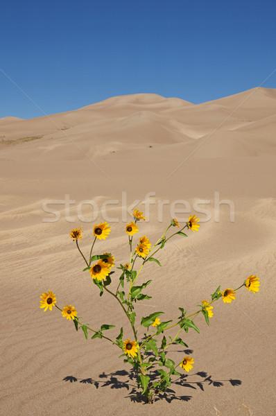 Fiori gialli sabbia giallo prateria girasoli Foto d'archivio © pancaketom