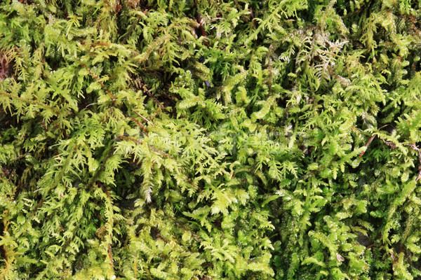 green moss background Stock photo © pancaketom