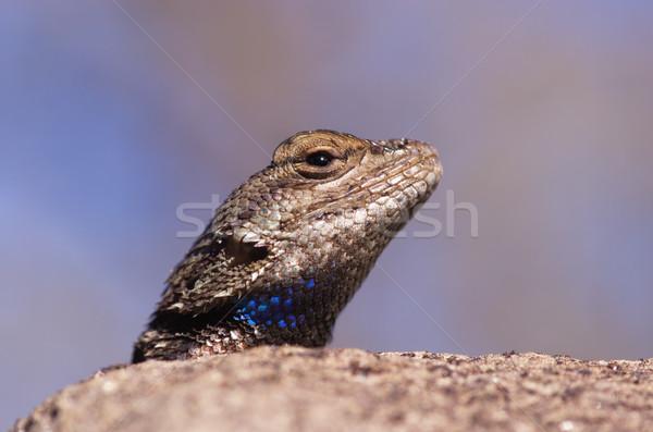 Fence Lizard Head Stock photo © pancaketom