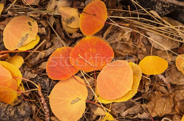 Fall Aspen Leaves Stock photo © pancaketom