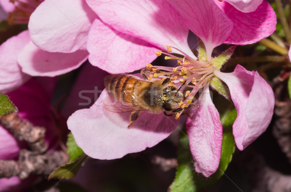 Hone Bee on Flower Stock photo © pancaketom