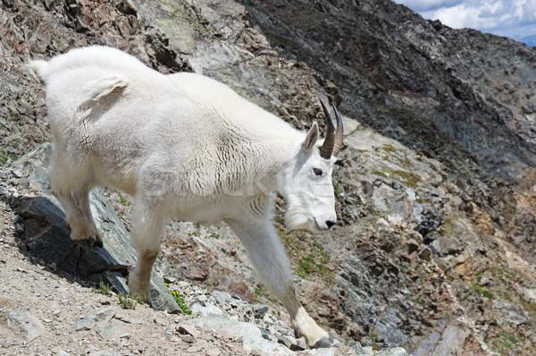 Rocky Mountain Goat Stock photo © pancaketom