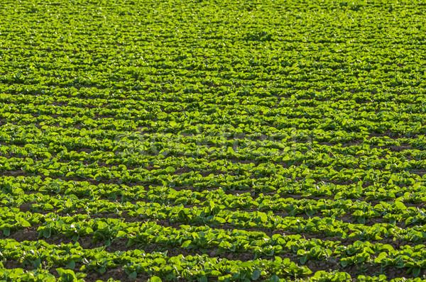 Lettuce Growing In Field Stock photo © pancaketom