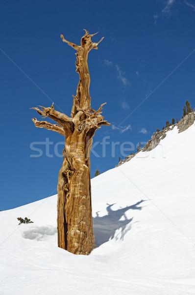 枯れ木 雪 古い 死んだ 松 ストックフォト © pancaketom