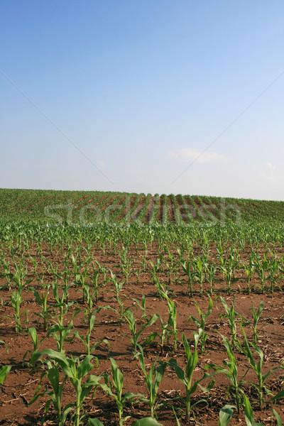 Kukoricamező függőleges kép copy space égbolt tavasz Stock fotó © pancaketom