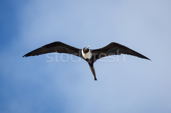 Magnífico feminino voador Bahamas céu Foto stock © pancaketom