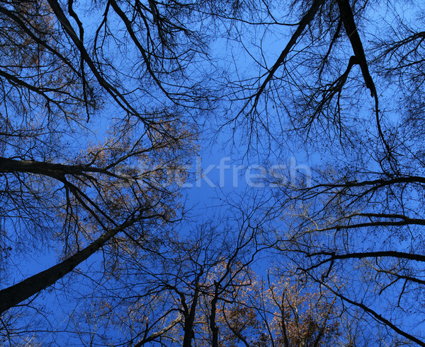 late fall tree tops Stock photo © pancaketom