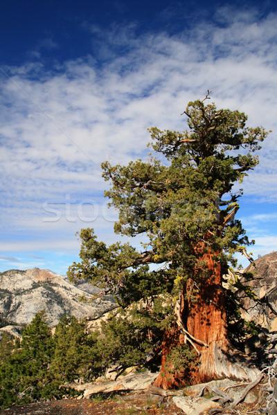 sierra juniper tree Stock photo © pancaketom