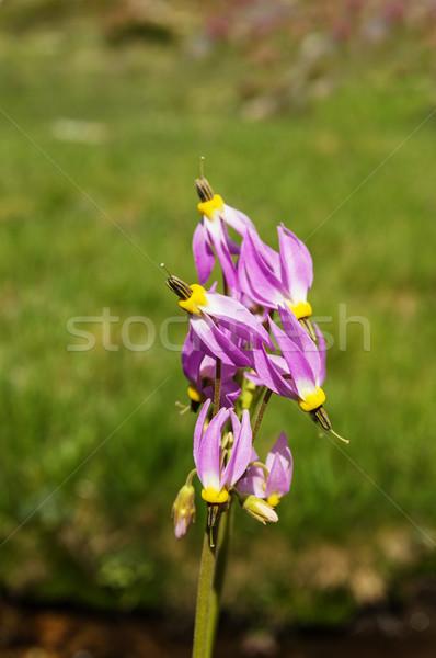 Sierra Shooting Star Flowers Stock photo © pancaketom