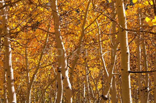 Golden Aspen Trees Stock photo © pancaketom