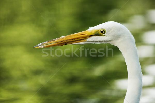 Great Egret Head Stock photo © pancaketom