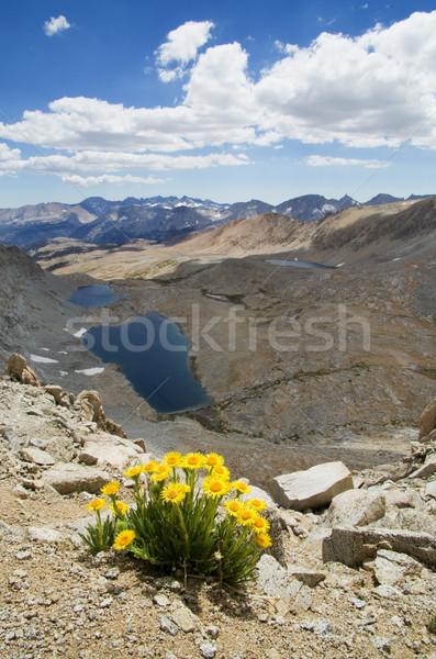 Yellow Alpine Gold Wildflowers Stock photo © pancaketom