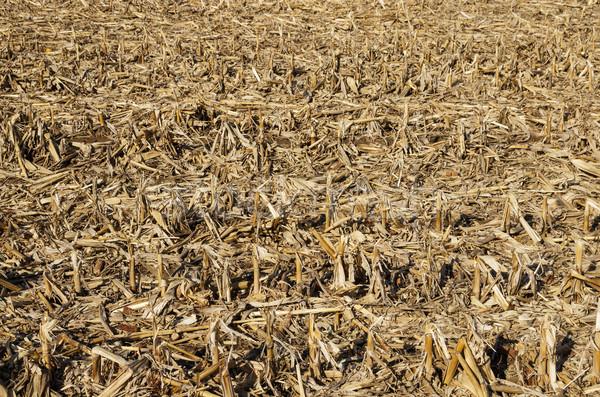 Corn Field After Harvest Stock photo © pancaketom