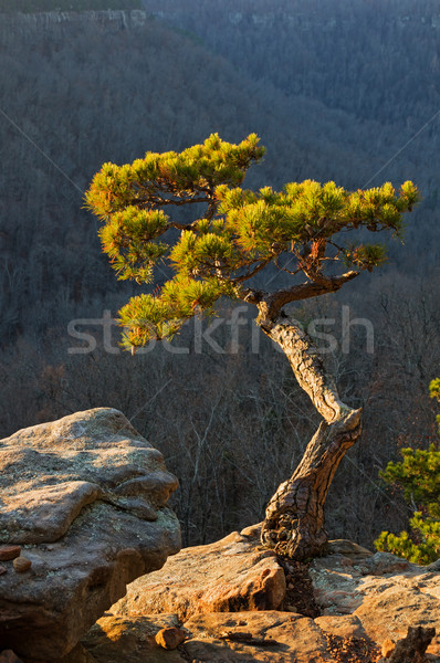 Pine Tree On Cliff Edge Stock photo © pancaketom