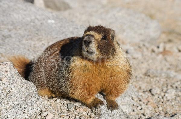 Marmot Stock photo © pancaketom