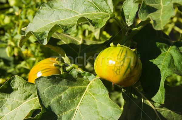 томатный завода два желтый зеленый фрукты Сток-фото © pancaketom