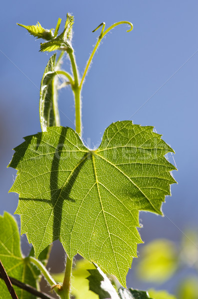 Backlit Grape Leaf Stock photo © pancaketom