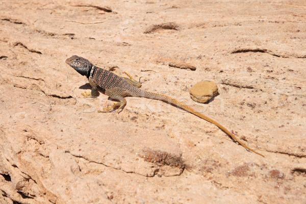 great basin collared lizard Stock photo © pancaketom