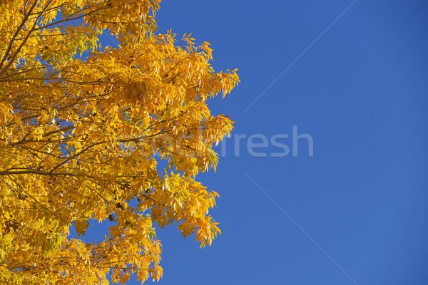 желтый листьев Blue Sky изображение ярко Сток-фото © pancaketom