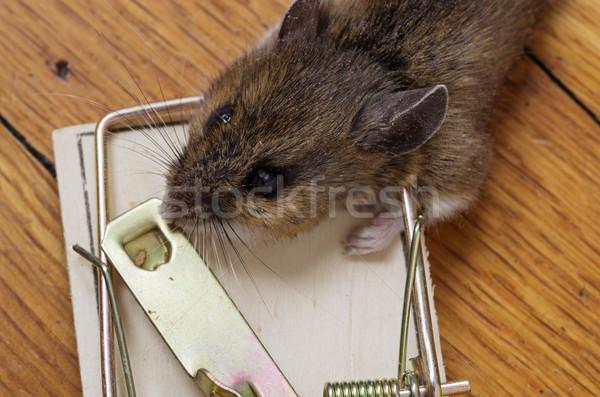 Morti mouse testa trappola legno Foto d'archivio © pancaketom