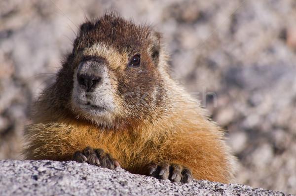 Yellow Bellied Marmot Stock photo © pancaketom