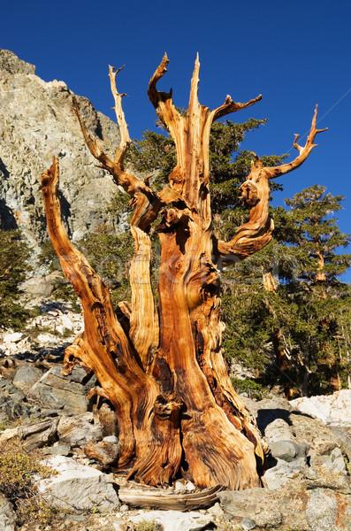 Yıpranmış ölü çam ağacı eski alpine çıplak Stok fotoğraf © pancaketom