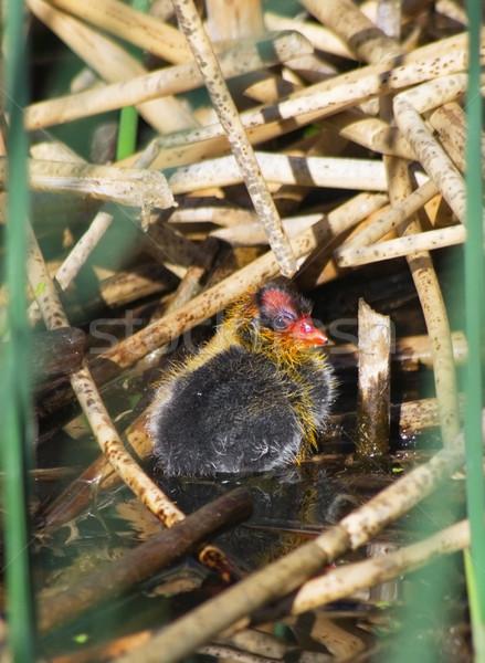 American Coot Baby Chick Stock photo © pancaketom