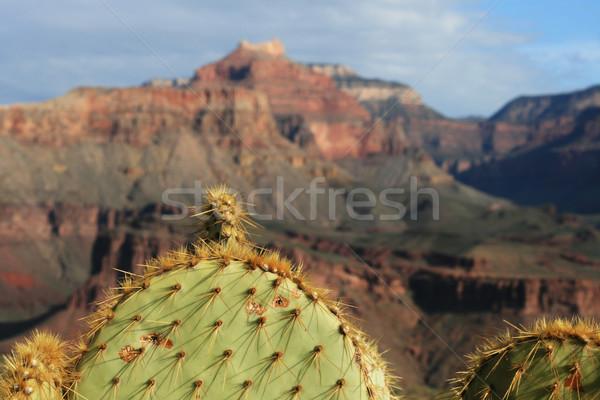 cactus at the Grand Canyon Stock photo © pancaketom