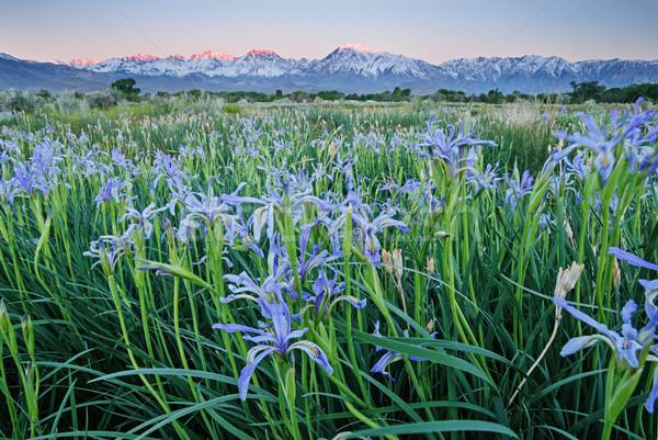 Iris flores montanas campo madrugada Foto stock © pancaketom