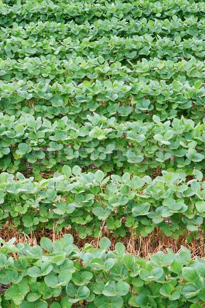 Szójabab mező sorok függőleges kép vízszintes Stock fotó © pancaketom