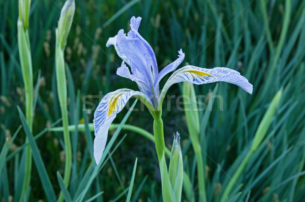 Wild Iris Flower Stock photo © pancaketom