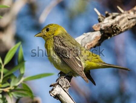 Female Western Tanager Bird Stock photo © pancaketom