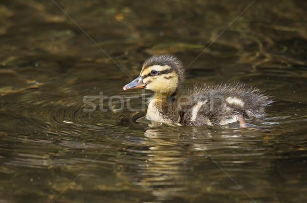 Foto stock: Patinho · pato · natação · enseada · bebê · amarelo