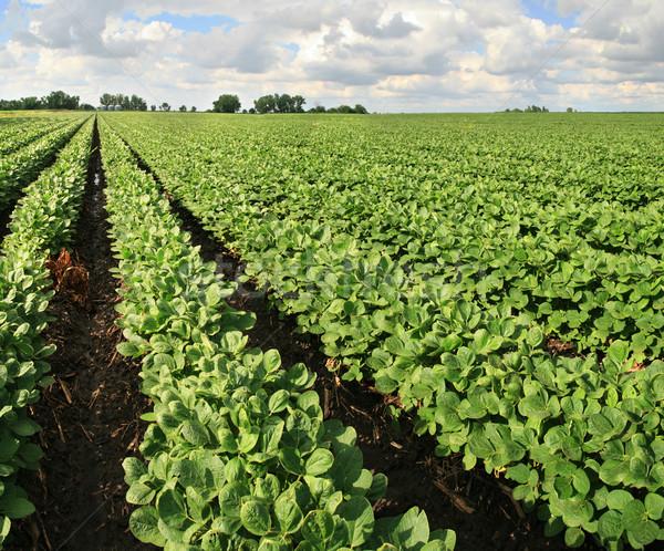 Szójabab farm mező sorok szójaszósz bab Stock fotó © pancaketom