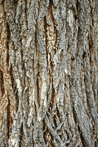 rough cottonwood bark Stock photo © pancaketom