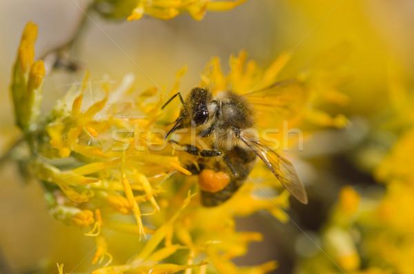 Stok fotoğraf: Arı · sarı · çiçek · makro · görüntü · bal · arısı · sarı