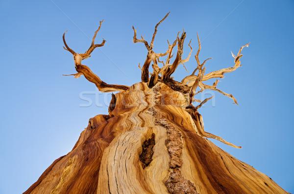 ölü çam ağacı görmek yukarı yıpranmış az Stok fotoğraf © pancaketom
