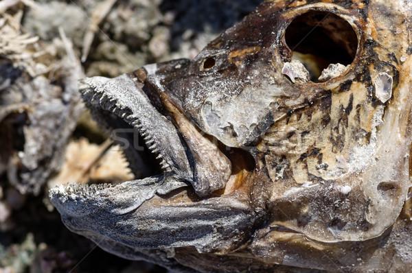 Stock photo: Dead Fish Head