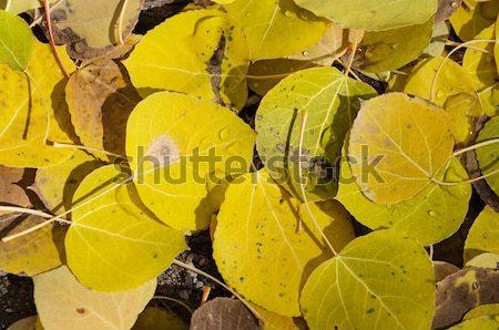 Yellow Aspen Leaves Stock photo © pancaketom