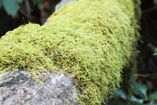 moss on log Stock photo © pancaketom