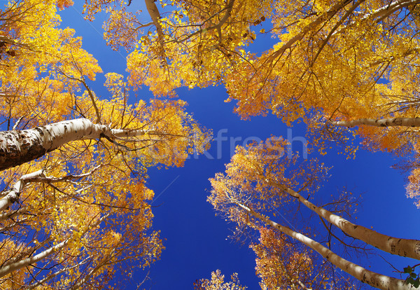 Fall Aspen Trees Stock photo © pancaketom