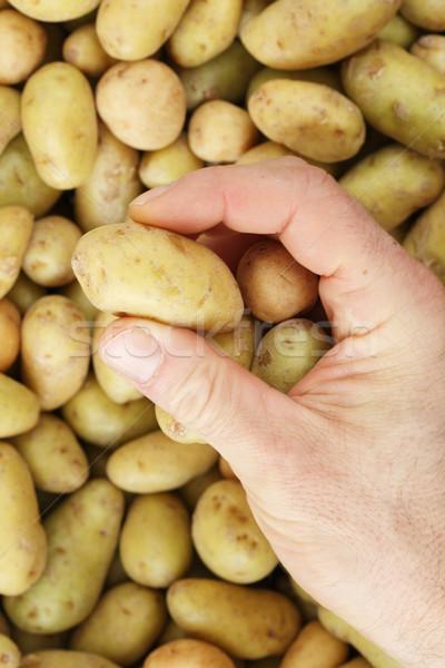 hand picking mini potato Stock photo © pancaketom