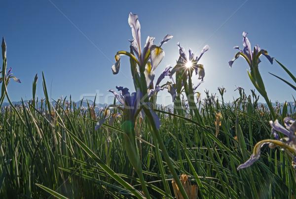 Detrás iris flor pradera Foto stock © pancaketom