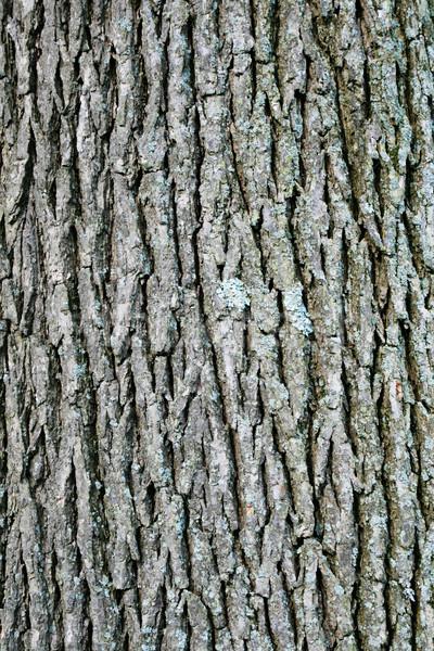 болото белый дуб Кора вертикальный изображение Сток-фото © pancaketom