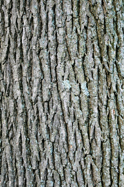 swamp white oak bark Stock photo © pancaketom