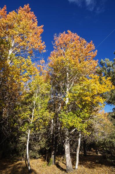 Red And Yellow Fall Aspen Trees Stock photo © pancaketom