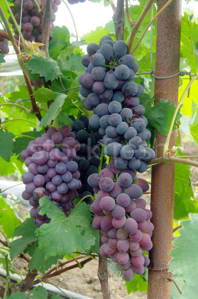 Bunches of red wine grapes  Stock photo © papa1266