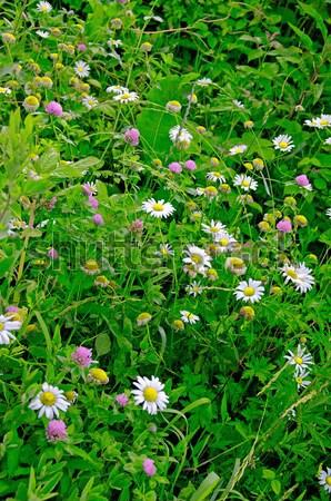 multi colored daisy flowers pattern Stock photo © papa1266
