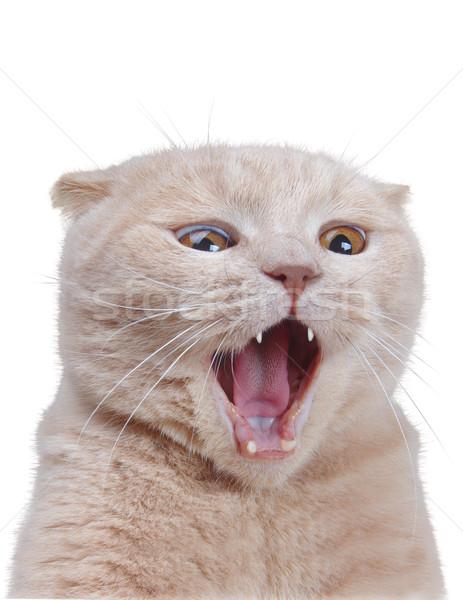 British cat isolated on white Stock photo © papa1266